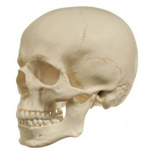 Cráneo versión anatómica