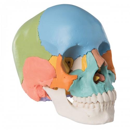 Cráneo versión didáctica