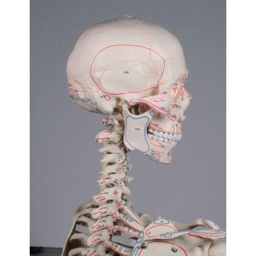 Esqueleto anatómico