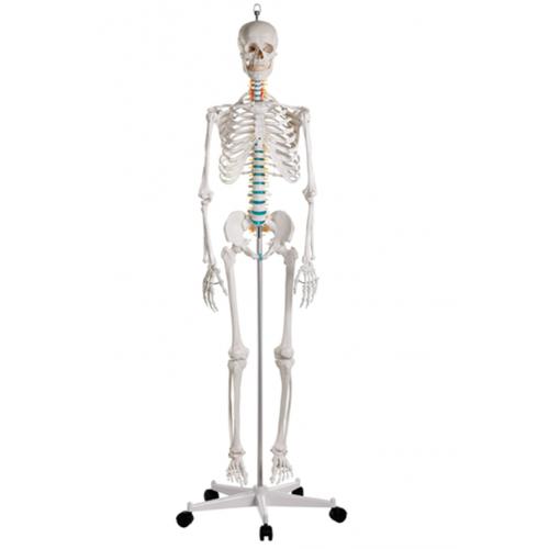 Esqueleto didáctico