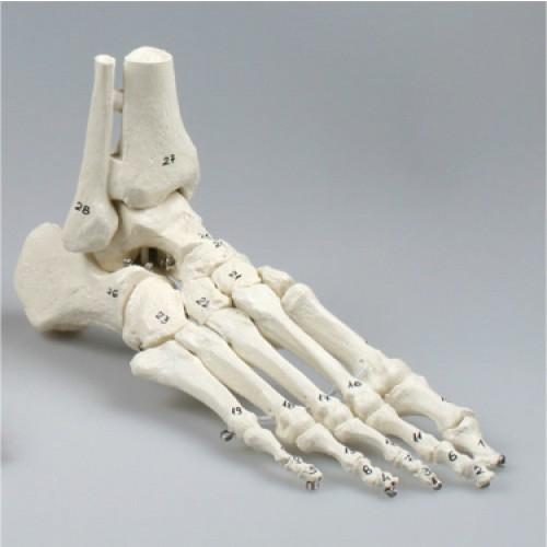 Modelo anatómico de pie